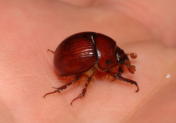 Rendkívül ritka bogarat találtak Magyarországon