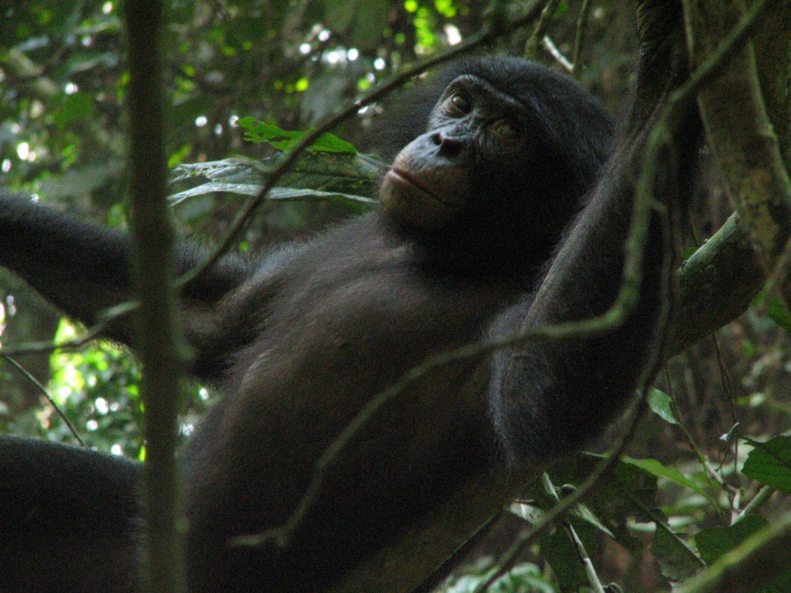 Bonobóknak köszönhetően fedeztek fel egy szarvasgombát